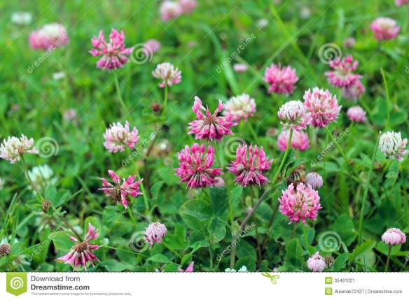 pink-flowers-clover